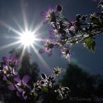 Blommor i försommarsolen 2014-06-01. Har photoshoppat bort lite skador på vissa blommor