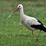 Vit stork 2013-07-30