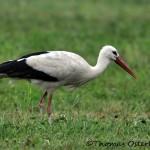 Vit stork Granberga 2013-07-30