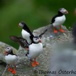 Lunnefåglar Runde 2015-07